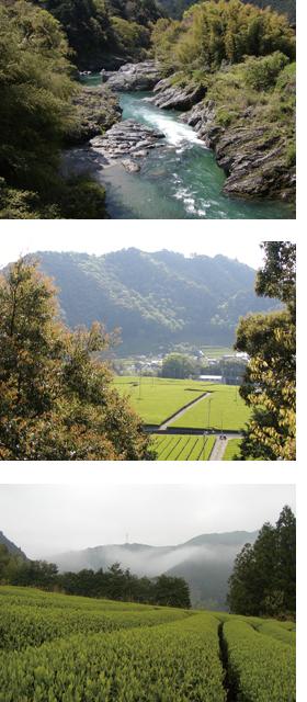 松阪市飯高町を流れる櫛田川・周辺エリアで栽培される茶畑