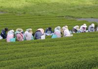 茶摘み作業の様子
