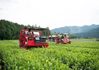 茶木の伐採の様子